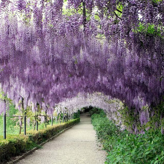 Wysteria Lane by Lamoirer, via Flickr