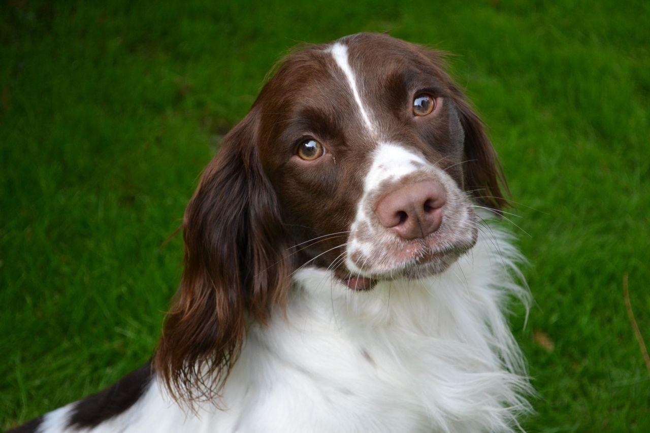 English Springer Spaniel Dog For Sale Anglijskij Springer Spaniel Spaniel Porody Sobak