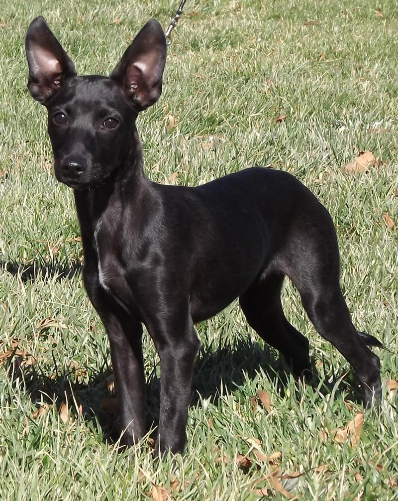 Xoloitzcuintli For The Love Of Dogs Dogs Puppies Animals