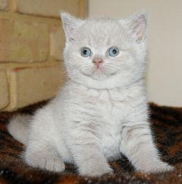Cat Photos - British Shorthair Cat Pictures