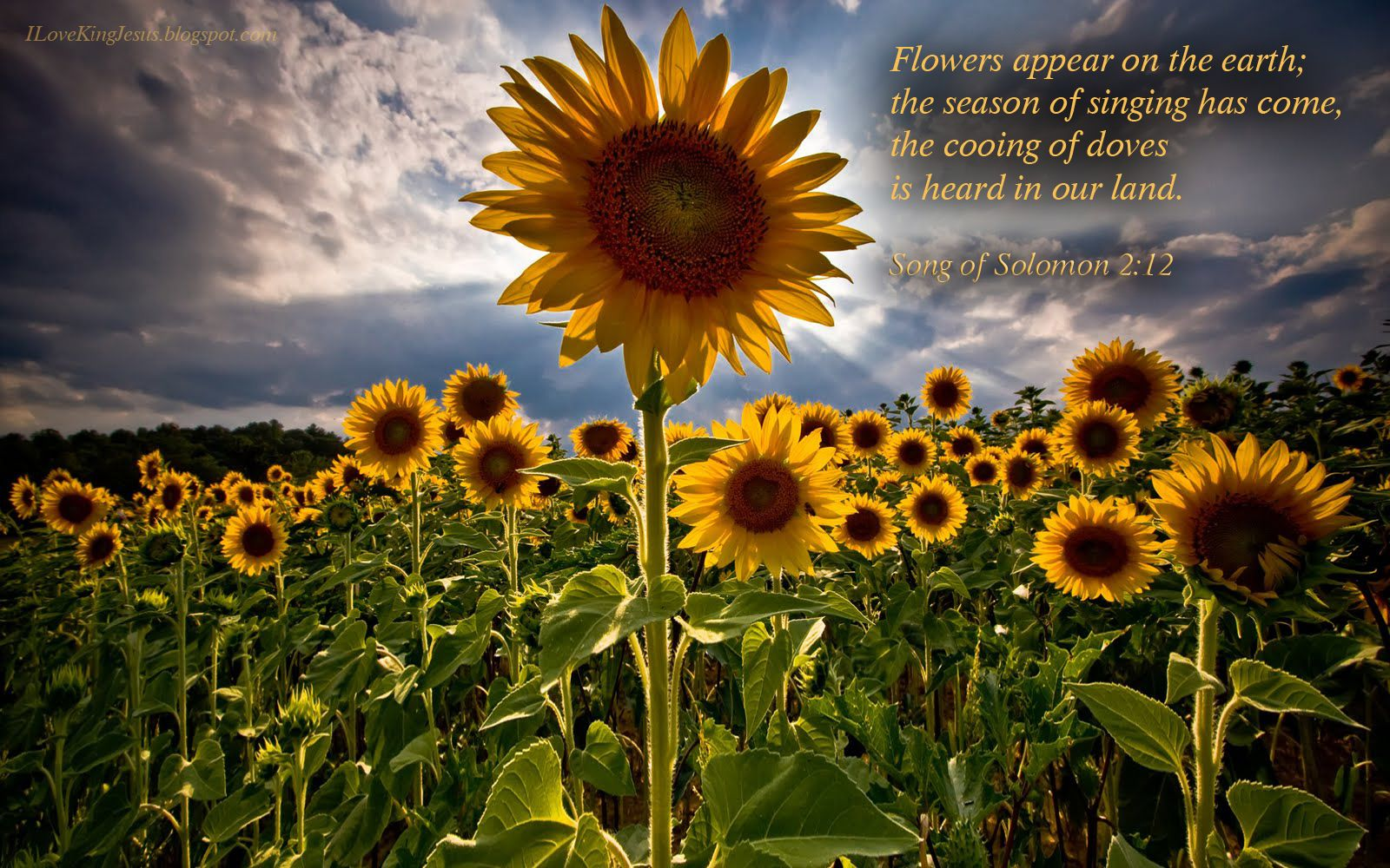 i love king jesus wallpaper - Google Search | Sunflower ...