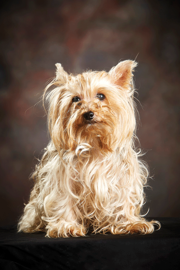 Top 15 Cutest Yorkshire Terriers Make You Go Mad After Seeing Them In 2020 Yorkshire Terrier Yorkshire Dog Popular Dog Breeds