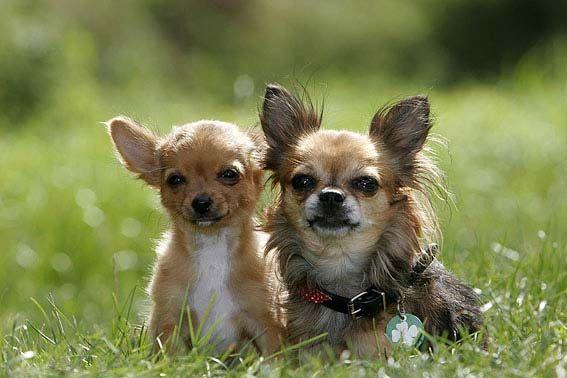 Chihuahua (mit Bildern) Hunderassen, Hunde rassen, Hunde