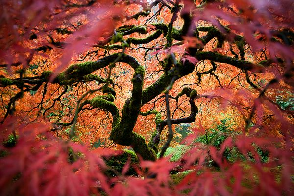 Portland Oregon A Anese Maple Reveals Autumn Colors In The Garden