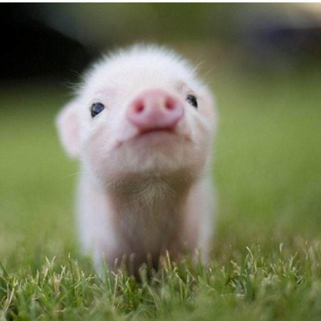 Awwwh little piggy!!
