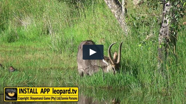 Waterbuck will easily go into the water. Read more about the waterbok and watch the video! #leopardtv #mondaymadness