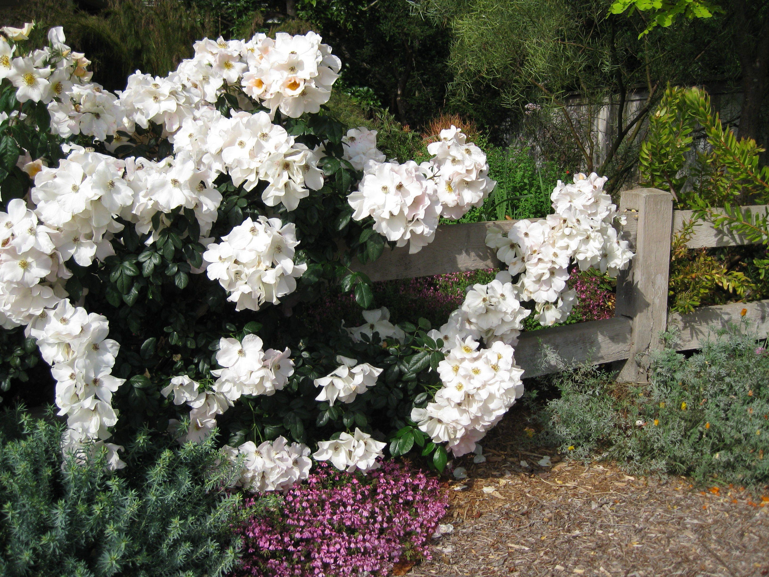 Rose Rampicanti Senza Spine rosa 'sally holmes' | fiori semplici, fiori e piante perenni