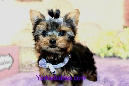 Elegant Teacup Yorkie Puppies For Sale Florida Beautiful Yorkies