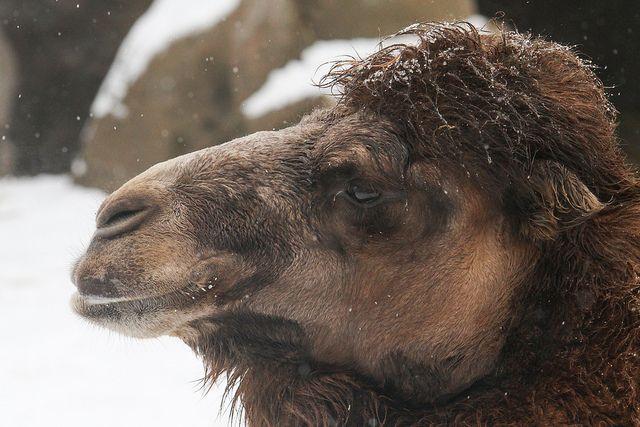 Camel in the Snow | Flickr: Intercambio de fotos