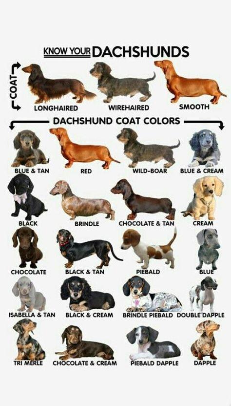Photo of Colores y patrones de Dachshund Weenie dogs / Sausage dog / Dachshund love / Dachshu …