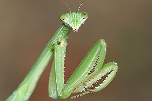 Chinese Praying Mantis (Tenodera sinensis) | arthropod ...