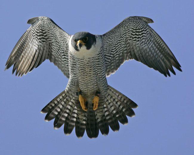 Peregrine Falcon Nest Live Peregrine Falcon Pet Birds Peregrine