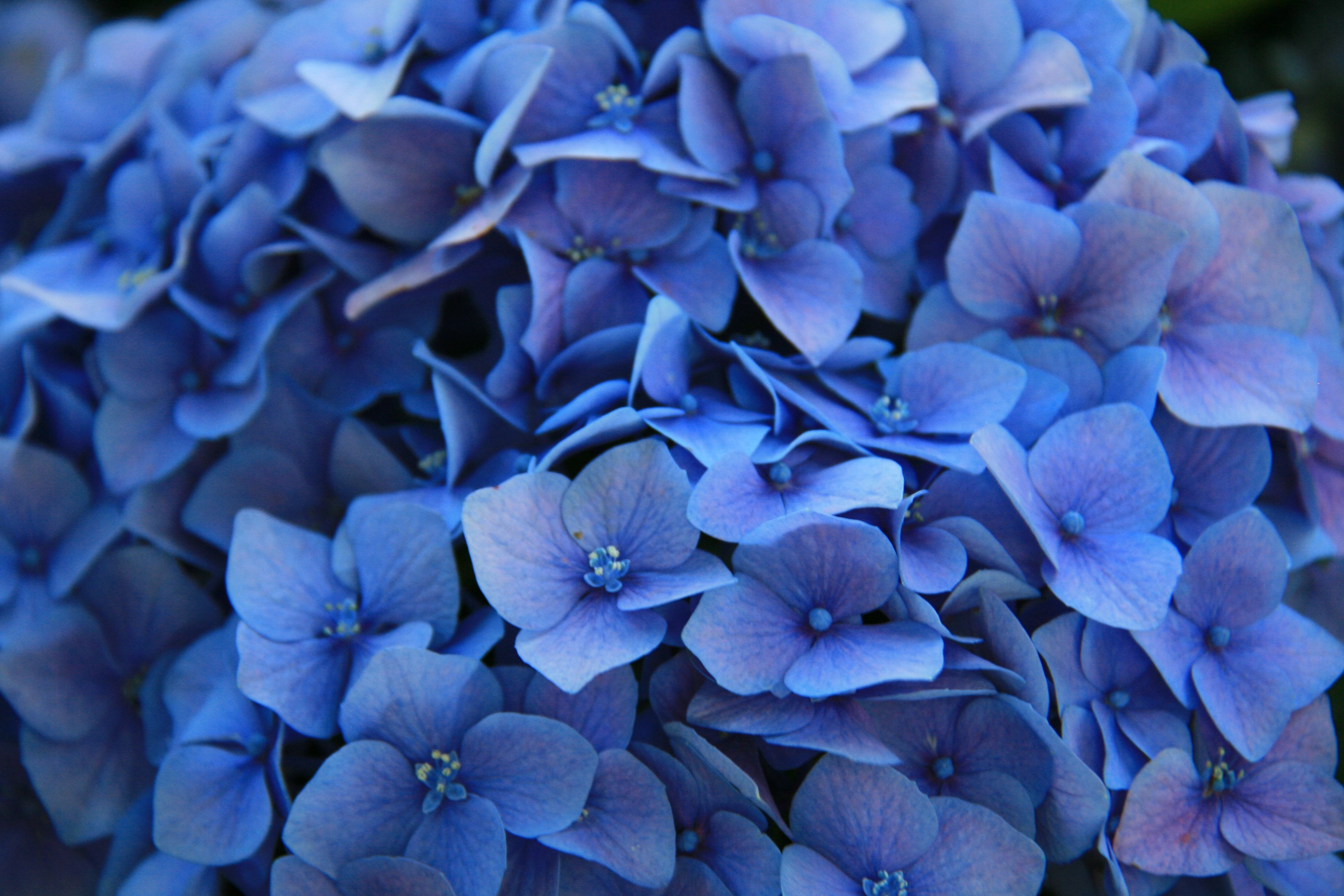 Desktop Wallpaper Blue Flowers Images 6 Hd Wallpapers Walhill