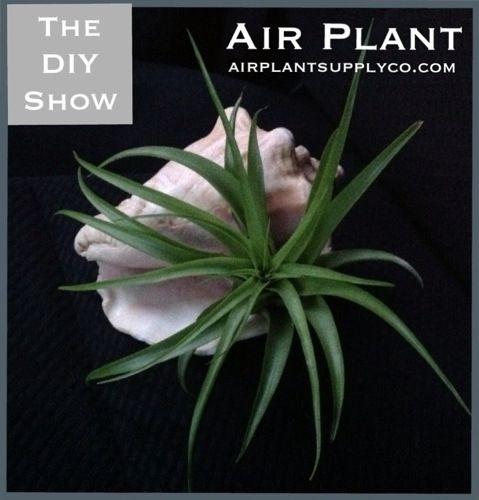 air plants air plant supply co diy crafts projects you have to try pinterest air plants. Black Bedroom Furniture Sets. Home Design Ideas
