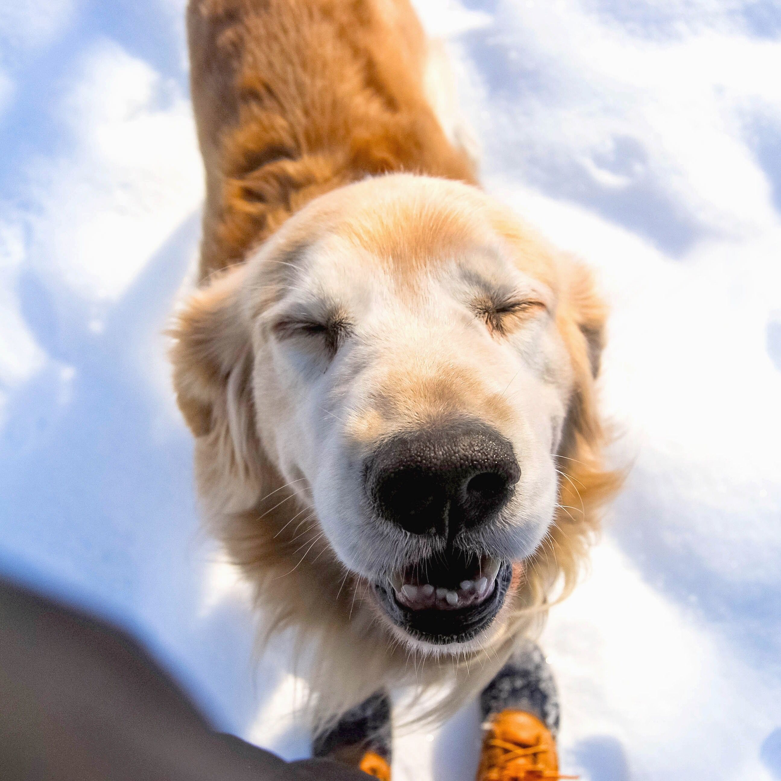 Maine Golden Retriever Loving The Snow And The Sun During A
