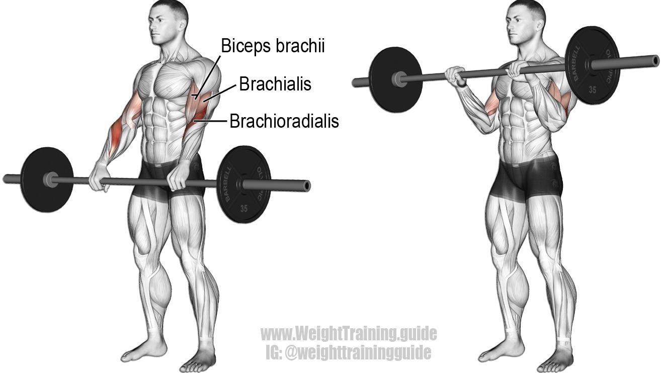 barbell reverse curl exercise illustration gym kol