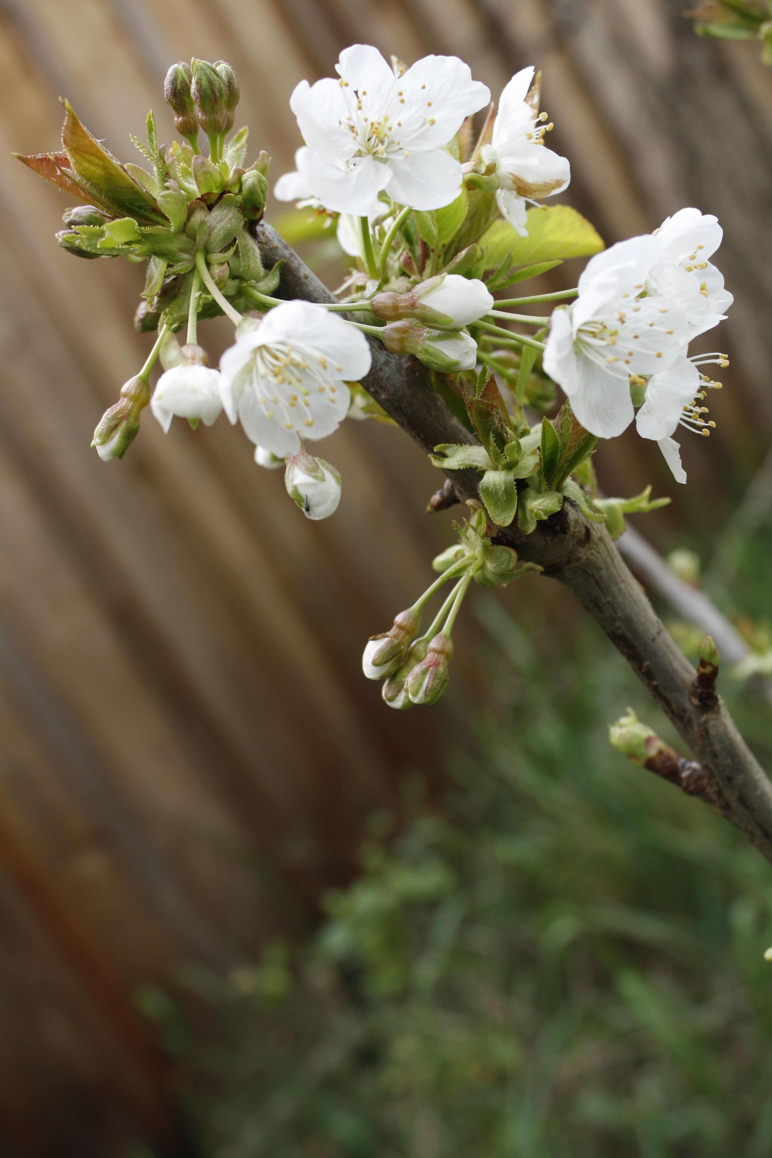 New Little Bing Cherry Tree With It S First Blossoms Cherry Tree Bing Cherries Tree