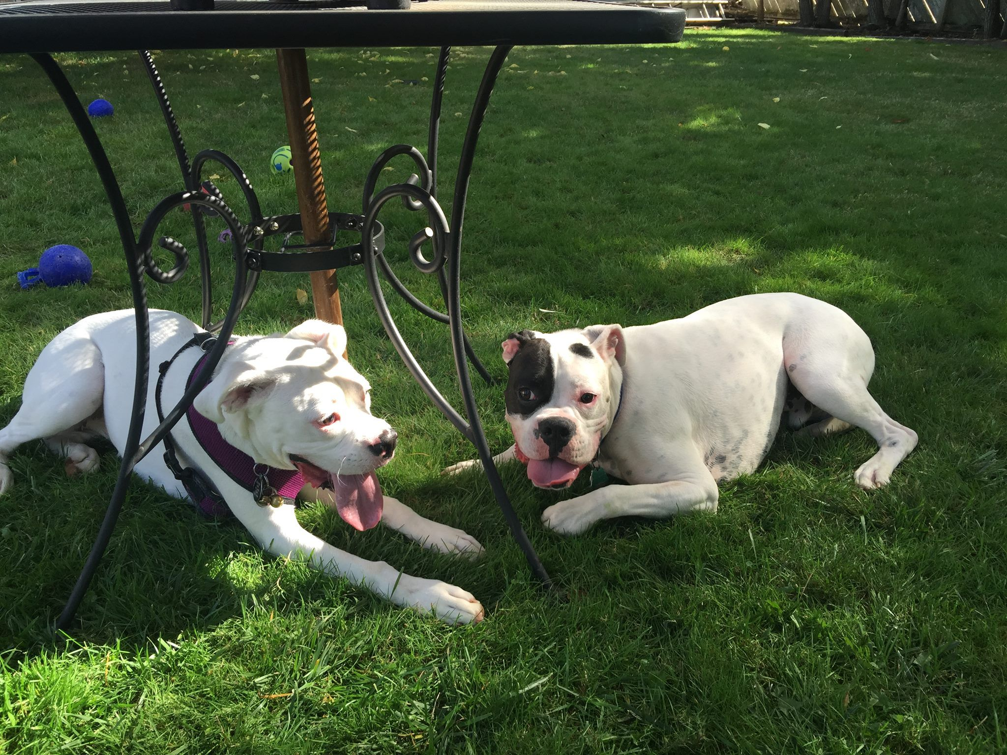 Two MLBR alums got together for a play date recently and boy did they have a blast! It's Bogie and Sugar!!  These two have an ongoing friendship and we really enjoy getting to see them together. They got to meet for the first time earlier this year when their moms, who met through rescue, decided to set up a play date…and they've been friends ever since!