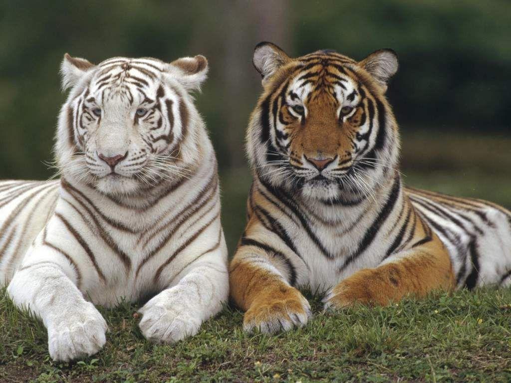 Картинки по запросу тигр   Смешные фотографии животных ...