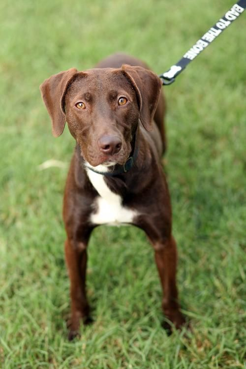 Lexi Pet Id 896580 1 Yr Old Female Chocolate Lab Rcacp 540 344 4922 Ext 6 Or 2 Ecarden Rcacp Org Pound Puppies Pet Id Labrador Retriever