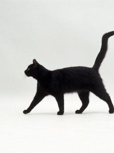 Black Cat (Felis Catus) Walking Profile  | Jane Burton