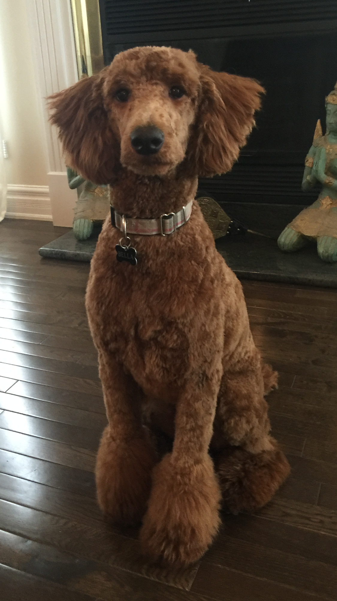 Poodle getting shaved pic