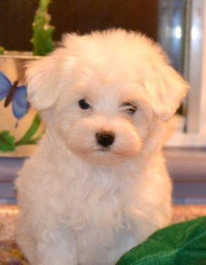 Maltese Tiny White Balls Of Fluff Maltese Dog Breed Poodle Mix