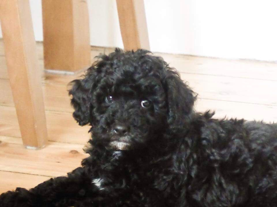 Black Cavapoo Puppy At 8 Weeks Old F1b Cavapoo Puppies Pup