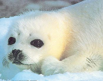 Baby Phoque bebe phoque | baby animals with their mother | pinterest | baby seal