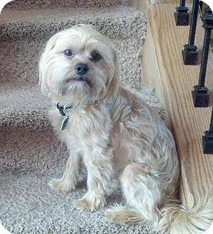 New Jersey Nj Shih Tzu Silky Terrier Mix Meet Medford Nj