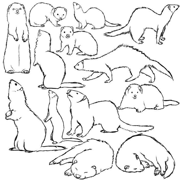 Ferret Sketches Con Imagenes Dibujo De Animales Hurones Cuidar Animales