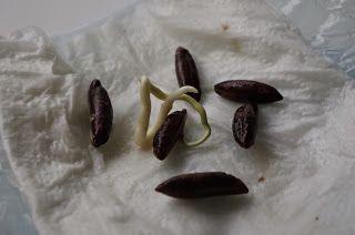 Aus Einem Getrockneten Dattelkern Eine Pflanze Ziehen. Mister Greens Welt Exotische  Pflanzen Selber Ziehen