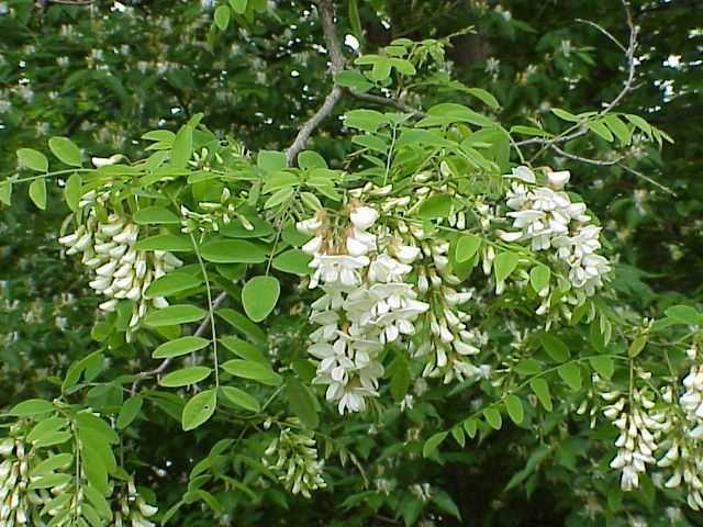 Black Locust Robinia Pseudo Acacia Plants Trees To Plant
