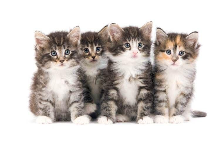 Blog A Breeder S Guide Of Kitten Diarrhea Kitten 6 Week Old Kitten Cute Animals