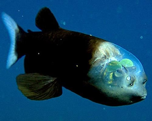 """Barreleye  This unusual fish might be the most bizarre creature ever found lurking in the deep ocean. Sometimes called a """"spook fish,"""" no doubt because of its strange appearance, the barreleye has a completely transparent head."""