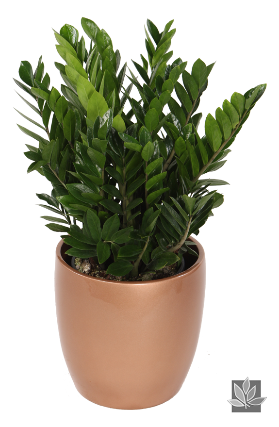 Zamioculcas zamiifolia or zz plant this is my favorite for Dekorative zimmerpflanzen
