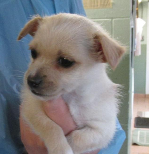 Adopt Sara on Cairn terrier, Puppies, Terrier