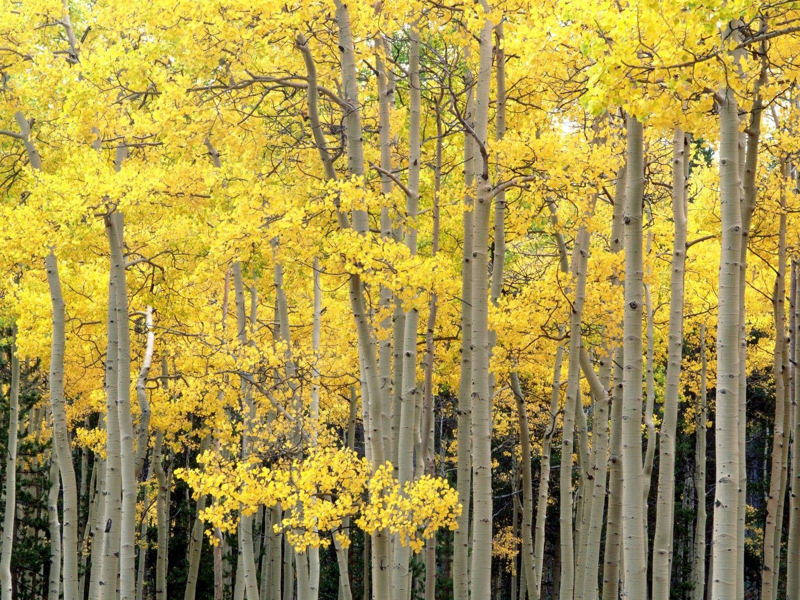 Autumn Aspens, Kenosha Pass, Pike National Forest, Colorado - http://imashon.com/w/autumn-aspens-kenosha-pass-pike-national-forest-colorado.html