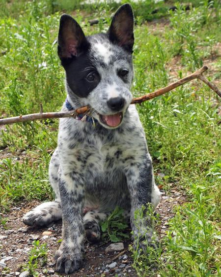 Koda The Australian Cattle Dog Catahoula Leopard Dog Mix Cattle