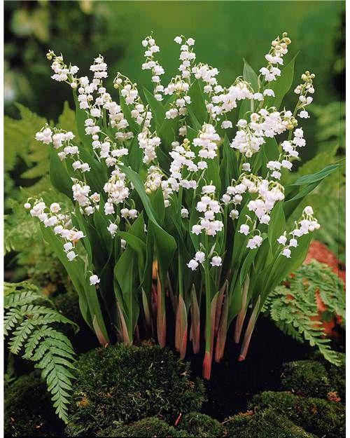 15 muguets blancs extra mon jardin jardins jardin d. Black Bedroom Furniture Sets. Home Design Ideas