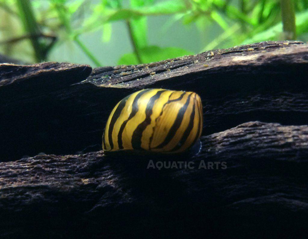 Red Racer Nerite Snail Vittina Waigiensis Snail Aquatic Arts Shrimp Tank