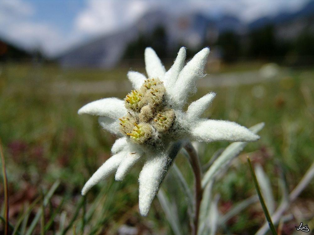 edelweiss suisse svizzera schweiz pinterest edelweiss enzian und alpenblumen. Black Bedroom Furniture Sets. Home Design Ideas