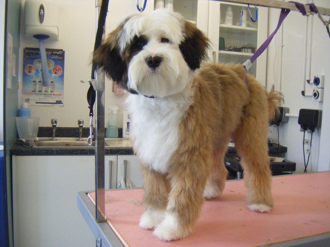 Pin By Alison Shames On Cute Tibetan Terrier Terrier Terrier Puppy