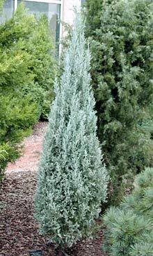 Juniper Skyrocket Landscape Shrubs Amp Trees Fast