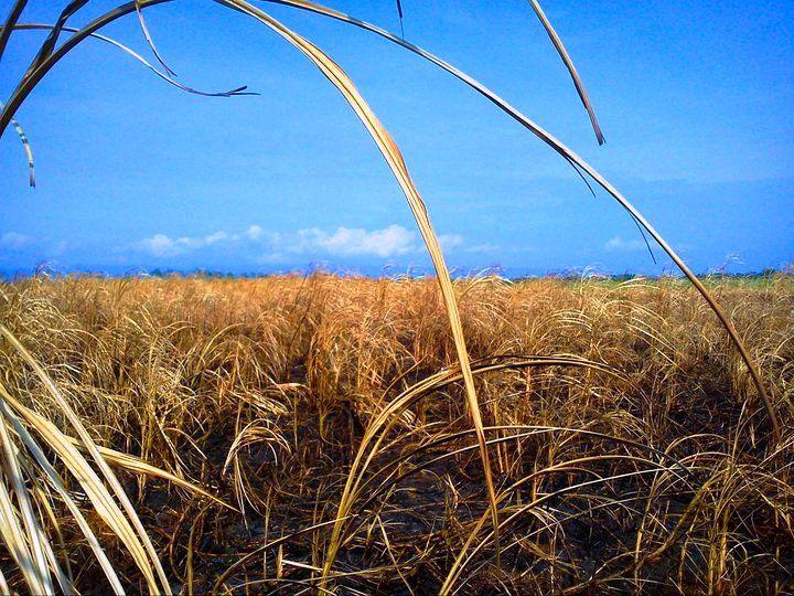 Sugar field in Bais.  Unknown photographer.