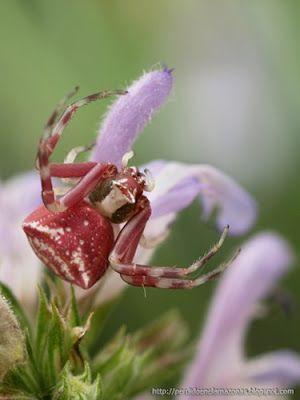 Reino: Animalia Filo: Arthropoda Clase: Arachnida Orden: Araneae Suborden: Araneomorphae Familia: Thomisidae Genero: Thomisus Especie: T. Onustus Nombre binomial: Thomisus onustus Nombre común: Araña cangrejo