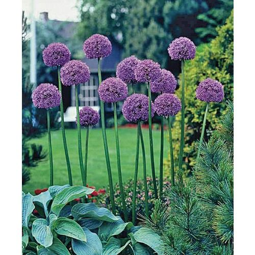 giant allium, layer with more full plants with pretty leaves