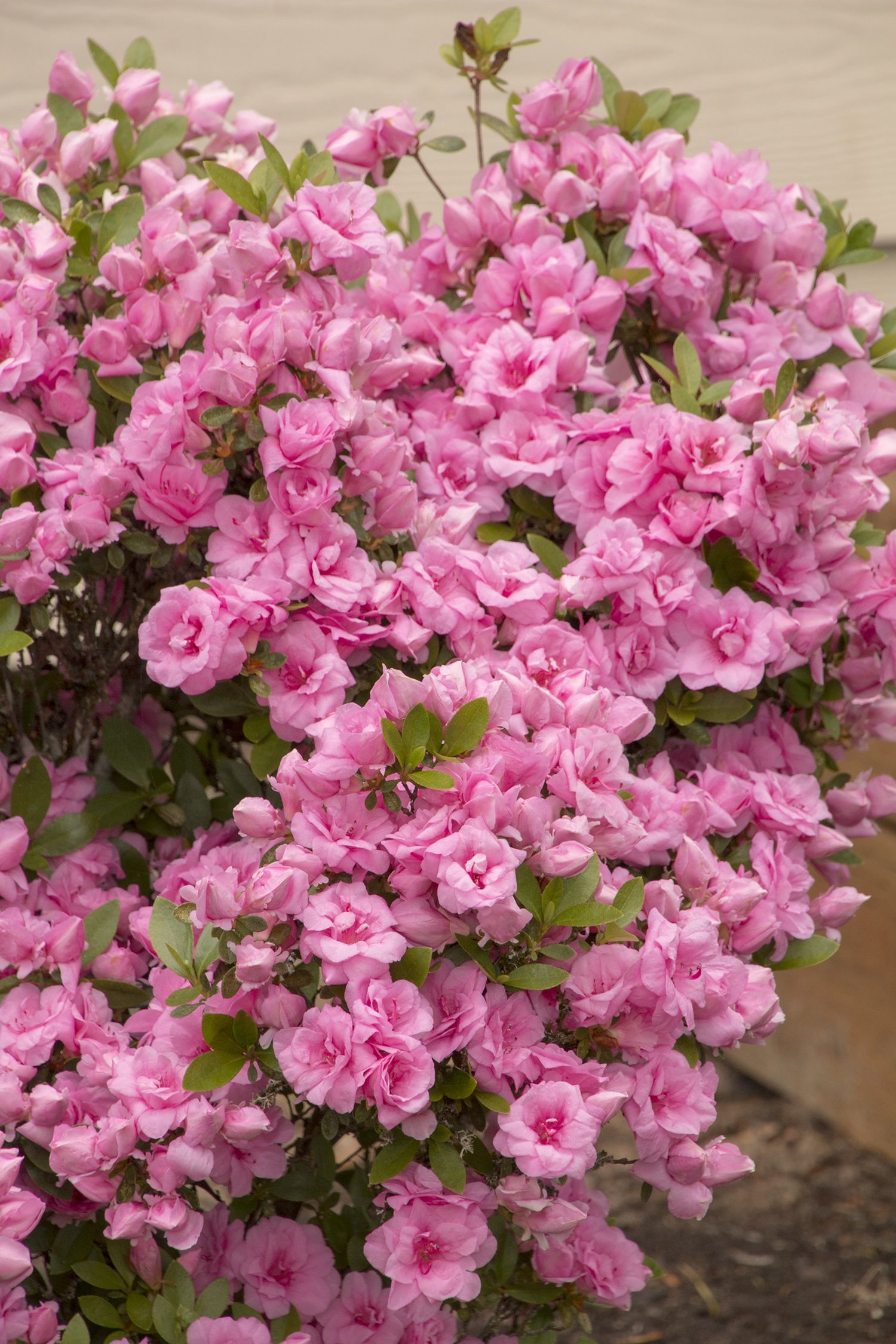 Rosebud Azalea Monrovia Rosebud Azalea Azaleas Landscaping Rose Buds Azaleas