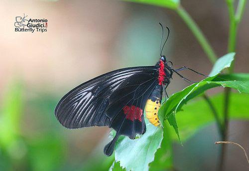 The Yellow-bodied Clubtail ♀ - Papilionidae, Papilioninae: Losaria neptunus neptunus