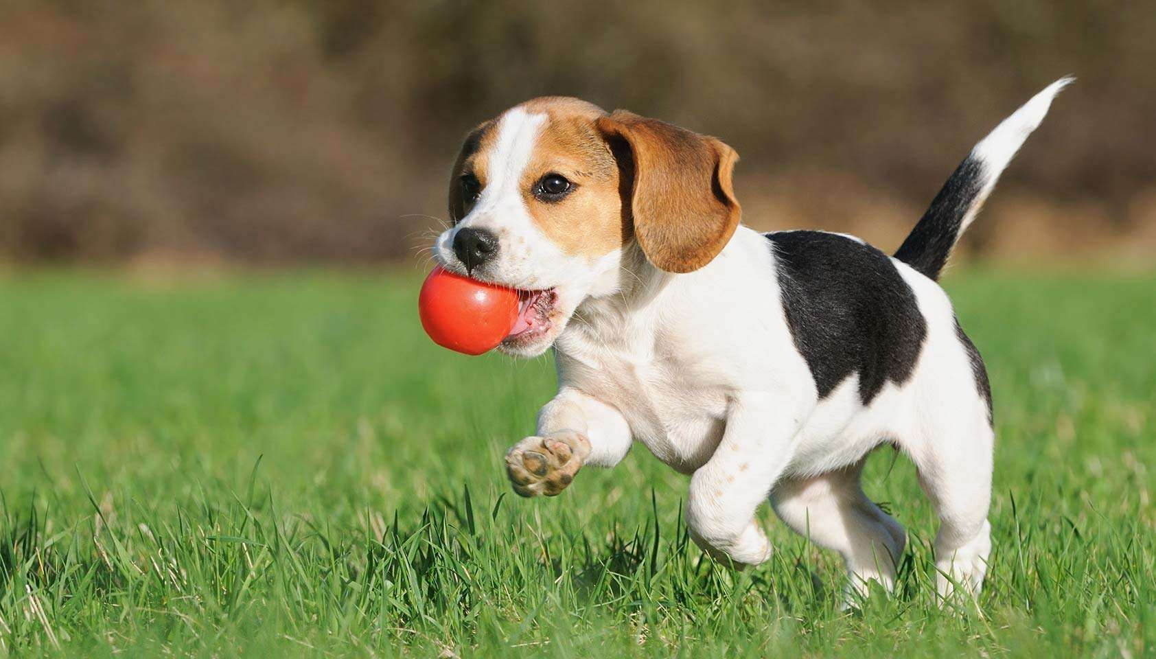 How Puppy Training Is The Key To Creating Better Forms Beagle